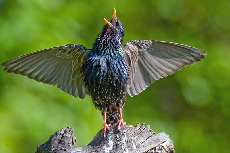 Burung Jalak Suara Merdu